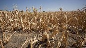 Crops that went through a drought