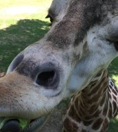 Asheboro Zoo Giraffe