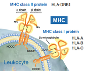 A Depiction of HLAs on a Cell