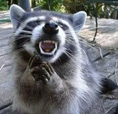 racoon who lives in the temprate forst