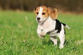 beagle leaping