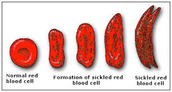 Transitions of red blood cells