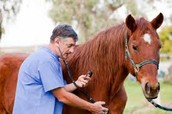 This Vet is checking the horses heart rate. Horses have check ups when they need it. But, other times their owners will know what to do.