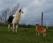 Our dog Linny with Willy the llama.