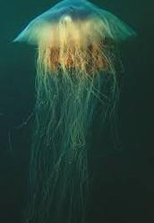 Lion's Mane Jellyfish.