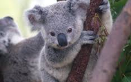 What do koalas eat?