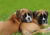 These are two boxers