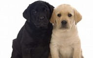 Black Lab and Labrador Retriever