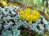Sedum spathulifolium, the San Bruno elfin butterfly's host plant