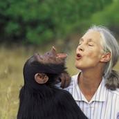 Loves Chimps