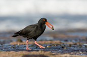 Two Organisms- Sooty Oystercatcher