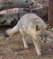 swift fox ready to run
