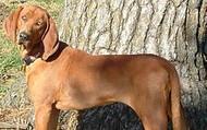 Full Grown Redbone Coonhound