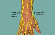 Nerves In The Arm/Hand