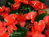 Flamingo Flower (Anthurium)