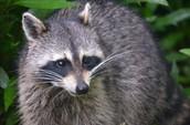 Some raccoons look like badgers