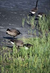 Interesting facts about Canadian Geese
