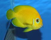 Lemon Peel Angel