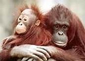 8 - El Orangután