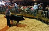 Pig Auction