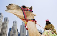 Camels are found throughout the middle east