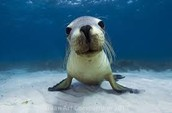 The sea lion.