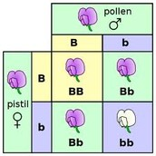 A simple cross in a punnett square