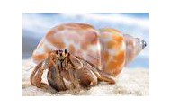 COMMENSALISM:    Hermit crab/snail shell