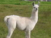 Llama with white fur