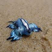 Blue Sea Slug