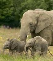 Poblacion de elefantes