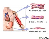 Types of Muscles