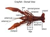 Dorsal Veiw of Crayfish