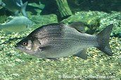 The State fish
