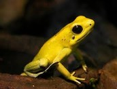 Yellow Poison Frog