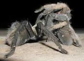 Tarantulas Mating
