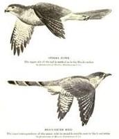 Common Cuckoos