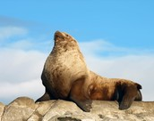 The Steller Sea Lion