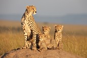A CHEETAH WITH HER CUBS