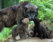 Mother feeding pups