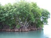 A Mangrove Patch