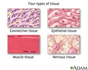 Epithelial, Connective, Muscular, and Nervous Tissue