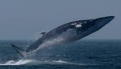 Fin Whale ( Balaenoptera Physalus)