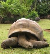 The last Aldabra Tortoise