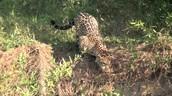 A jaguar carefully stalking its prey