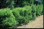 Melaleuca alternifolia (Myrtaceae)