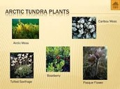 Plant Life in the Tundra
