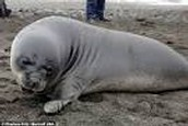 Facts- Elephant Seals/History