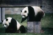 Playing Pandas