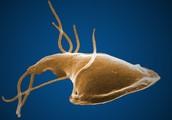 Giardiasis-protist